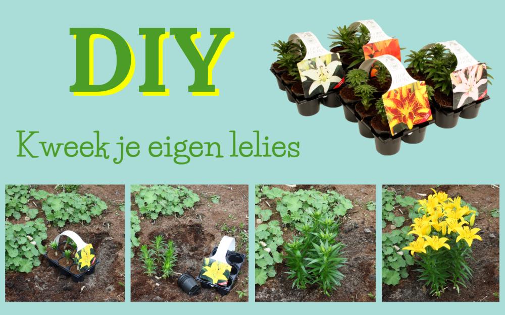 DIY – Kweek je eigen lelies