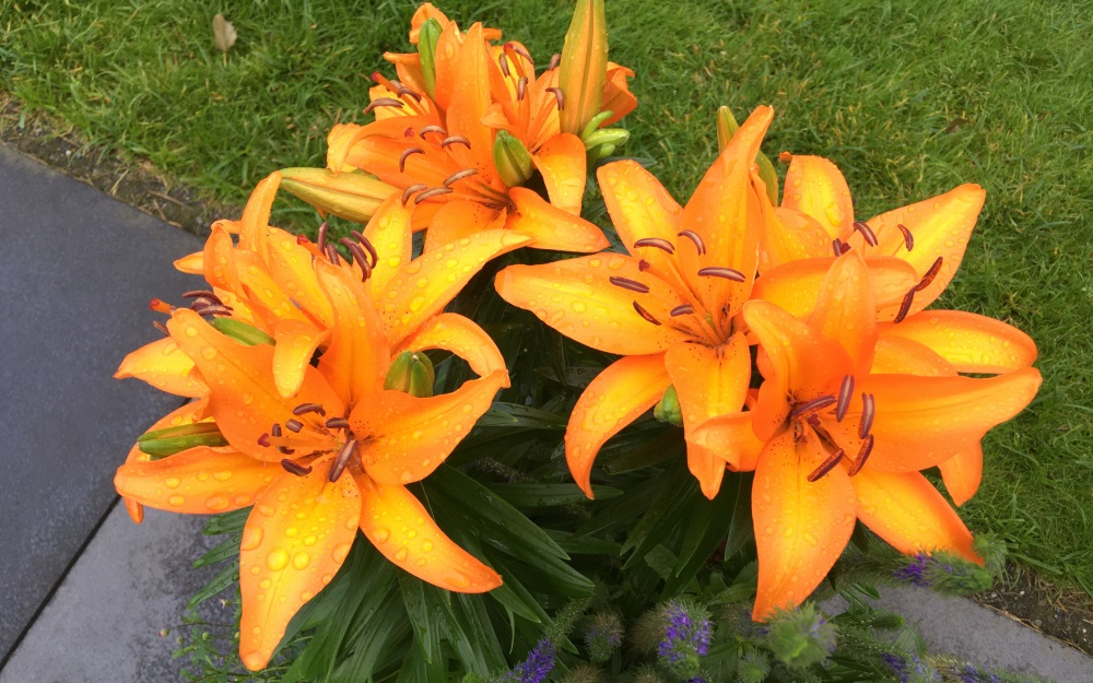 A rain shower for the lilies